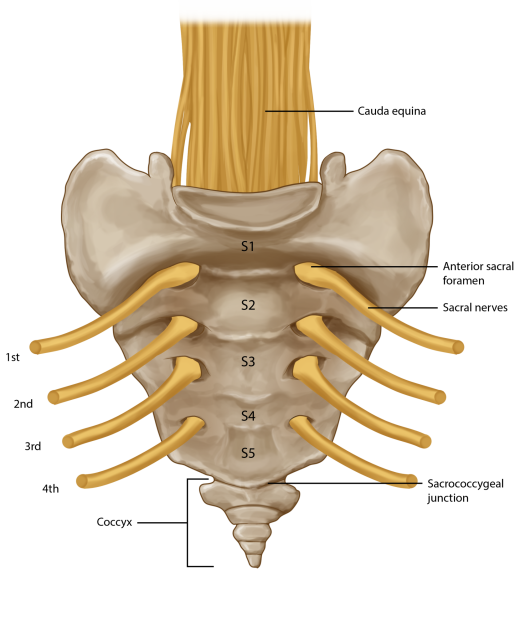Coccyx pain opt