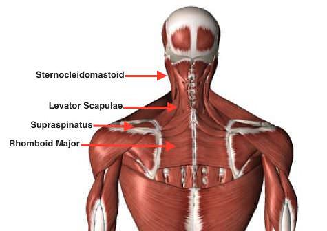 Muscles neck back opt e1477055054610