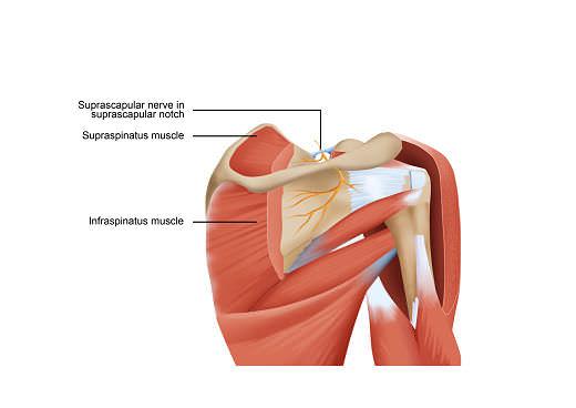 Suprascapular nerve 2 opt 1