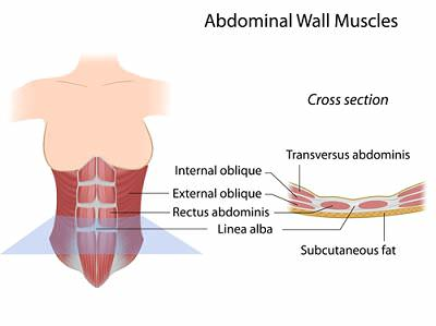 abdominal muscles labeled opt