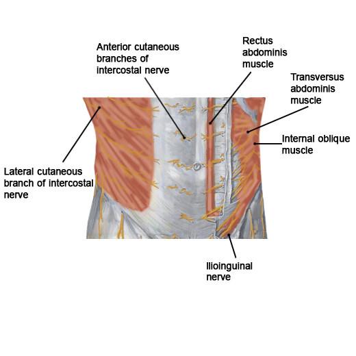 abdominal nerves label