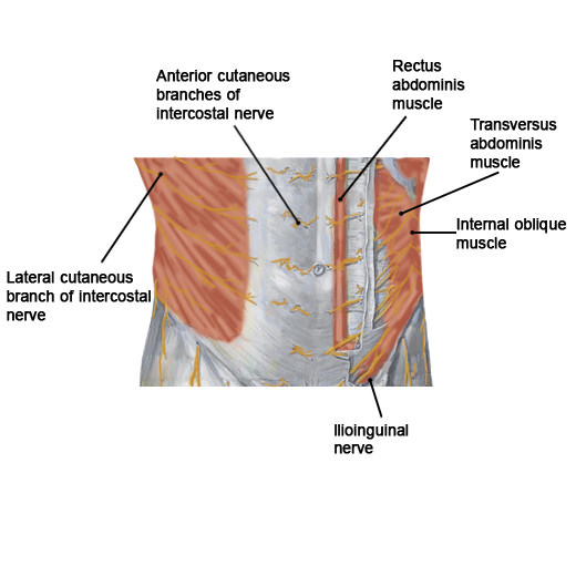 abdominal nerves label
