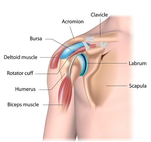 shoulder anatomy opt