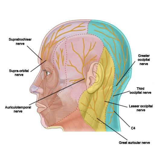 scalp innervation label