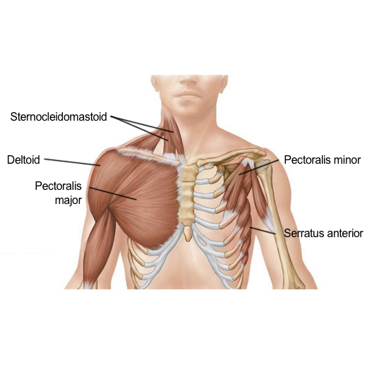 pectoral muscles 1